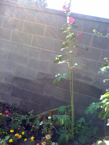 our lone standing hollyhock