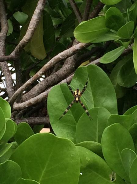 Kauai's common garden spider - 'Argiope aurantia'