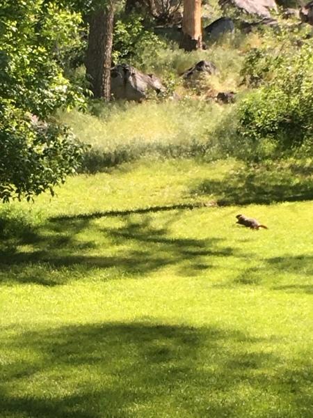 Fleeing marmot