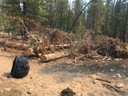 Pine beetle devastation?