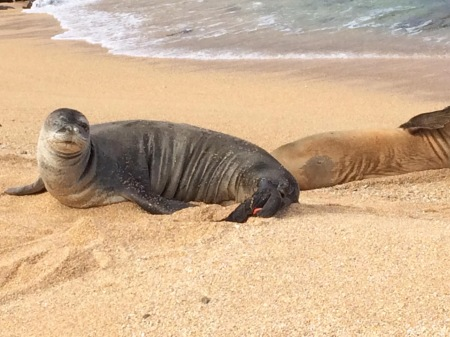 Hawaiian monk seal, an endangered species